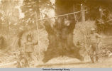 Bear hide, ca. 1905-1910.