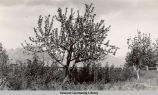 Apple trees in bloom, ca. 1940.