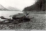 Wild Bill's Moose, Kenai Lake, Seward, Alaska, ca. 1910.