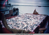 Fish in hold of ship.