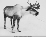 Reindeer antlers in winter.