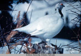 Ptarmigan in the snow.