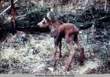 Day old moose.