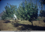 Blurry photo of apple trees.