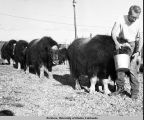 Man feeding musk ox at the University of Alaska Musk Ox Farm.