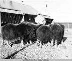 Man working at the University of Alaska Musk Ox Farm.