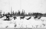 Dog team pulling the first mail run out of Fort Yukon, 1923