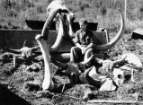 Mammoth head, tusks, femur, bison...
