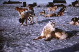 Sled dogs, Point Barrow. #1137.