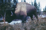 Buffalo near Big Delta, Alaska. #1191.