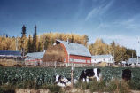 Experimental farm, University of Alaska. #1236.