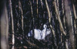Snowshoe rabbit. #1331.