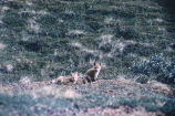 Alaskan red fox puppies. #1342.