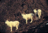 Dall sheep, rams.