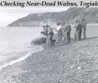 Checking near-dead walrus, Togiak.