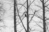 Bald eagle in tree.
