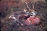Caribou shot out of McGrath.