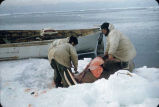 St. Lawrence Island walrus catch.