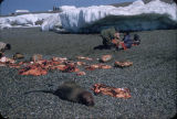 St. Lawrence Island walrus butchering.