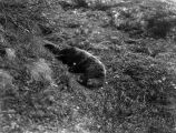 Dead bear in a gully.