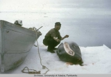 Edward Kiokun (Qiuran) butchering a seal