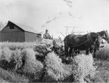 Fairbanks Station. Harvesting increase plats of oats. Sept. 25, 1918.