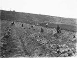 Agricultural workers harvesting potatoes.