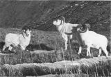 Band of three dall sheep.