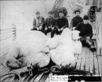 Polar bear onboard the U.S.S. Bear, weight 1568 [and] 625 lbs. Captured seventy miles north of...