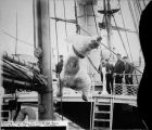 Hoisting polar bear on board the U.S.S. Bear. Alaska.