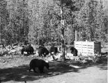 Bears at a trash site.