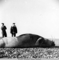 Dead walrus on beach w/spectators
