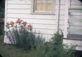 July 48. Flaming lilies beside cottage, Hydaburg.