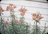 Flaming lilies in front of cottage at Hydaburg, Alaska.