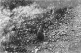 Standing ground squirrel.