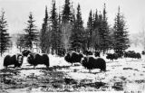 Heard of musk ox, Fairbanks.