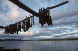 Drying Chum salmon in Kaltag.