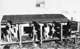 Sled dogs chained up at their dog houses.