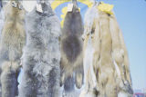 Animal pelts on display outdoors.