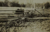 Cows in a corral at Big Delta (now Delta Junction), circa 1930s.