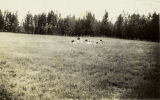 Cows in a field at Big Delta (now Delta Junction), circa 1930s.
