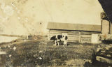 Bull cow at Rika's Roadhouse, Big Delta (now Delta Junction), circa 1930s.