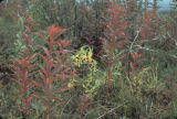 Fireweed in fall.