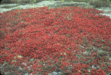 Crowberries and Caribou Moss.