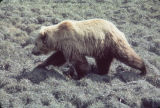 Grizzly near Toolik.