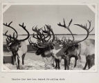Reindeer trained for pulling sleds.