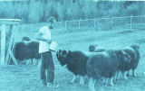 University of Alaska Musk Ox Farm, 1967.