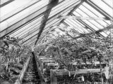 Interior of Dr. Brown's greenhouse at West Dawson, August 1901.