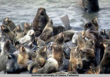 Northern fur seals.