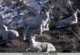 Dall Sheep (Rams)